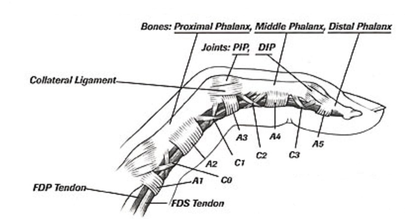 Finger Pain-anatomy-finger-collateral-annular-cruciform-pulleys-ligaments-jpg